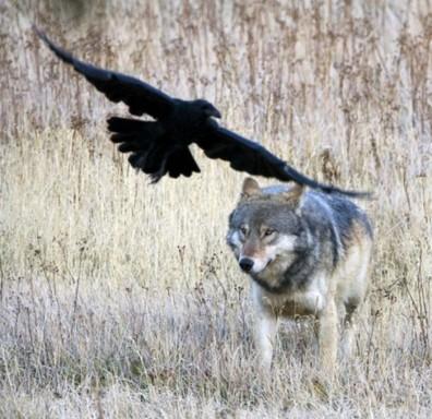 Raaf en wolf, beeld vriendelijk geleend van http://wolfandravens.blogspot.com/