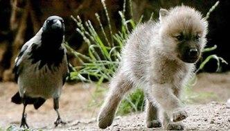 Raaf en wolf, beeldrecht onbekend